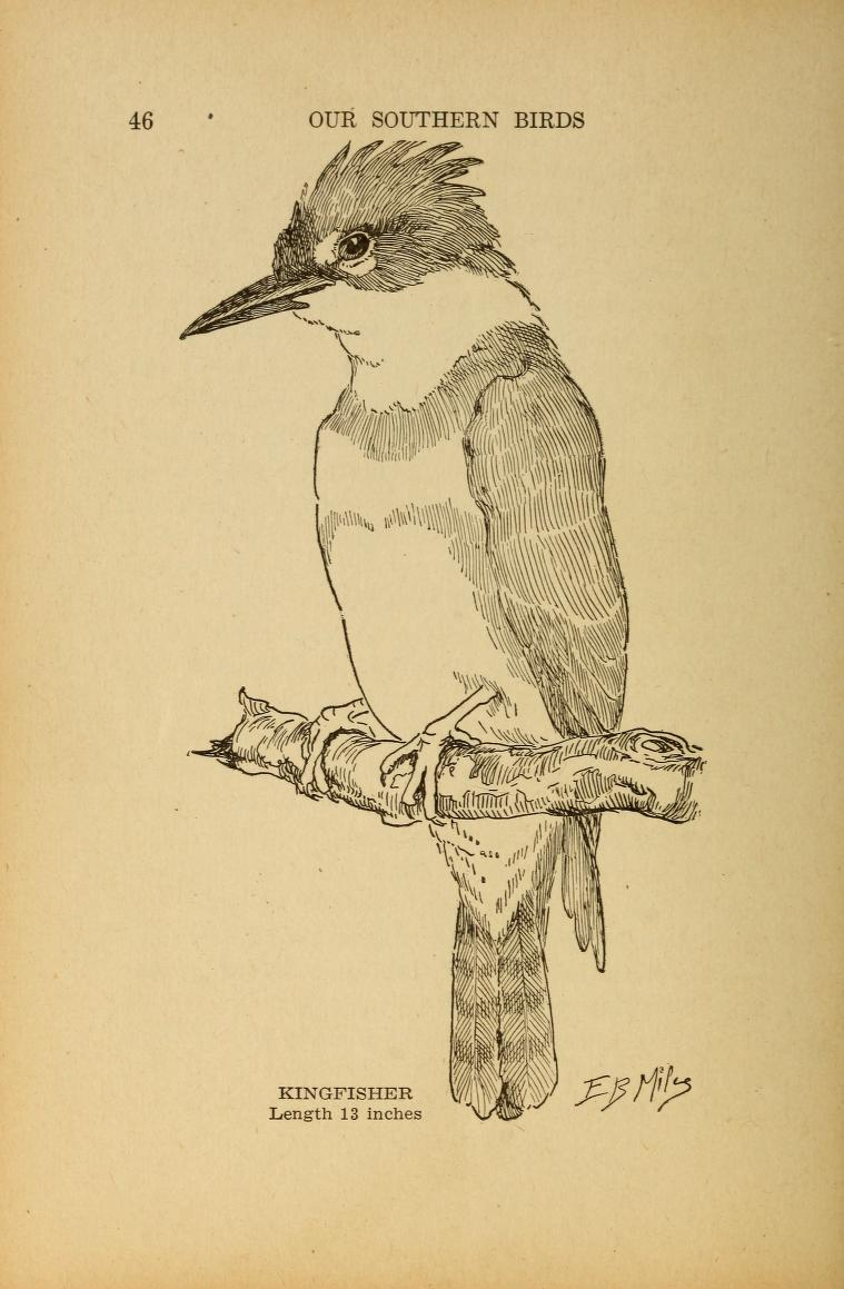 black and white line drawing of a kingfisher perched on a branch